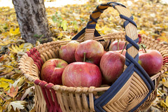 Honeycrisp Basket