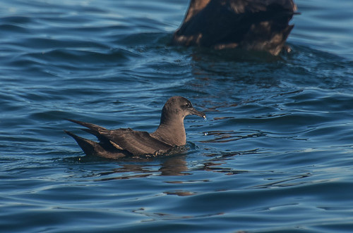 <p><i>Puffinus griseus</i>, Procellariidae<br /> Pelagic Zone, off Tofino, British Columbia, Canada<br /> Nikon D5100, 70-300 mm f/4.5-5.6<br /> September 20, 2014</p>