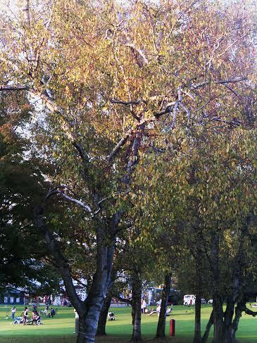Birke im Herbst II