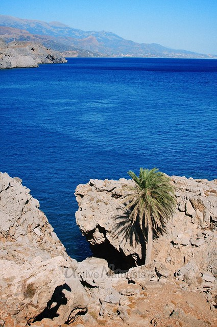 date palm 0000 Crete, Greece
