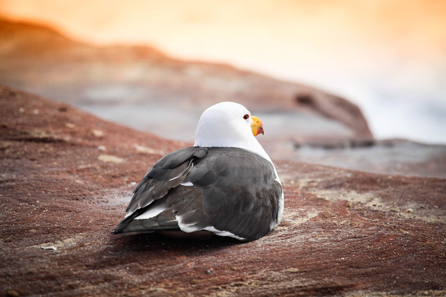 Pacific Gull pondering the meaning of life