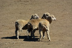 argali(0.0), bighorn(0.0), animal(1.0), sheeps(1.0), sheep(1.0), mammal(1.0), herd(1.0), fauna(1.0), wildlife(1.0),