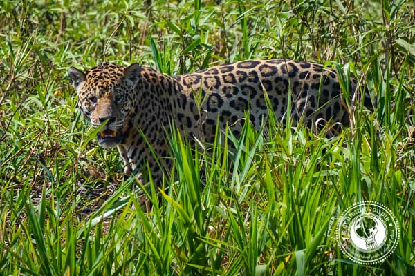 Pantanal Jaguar in Brazil