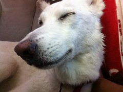 dog breed, nose, animal, dog, pet, white shepherd, berger blanc suisse, kishu, korean jindo dog, carnivoran, samoyed,