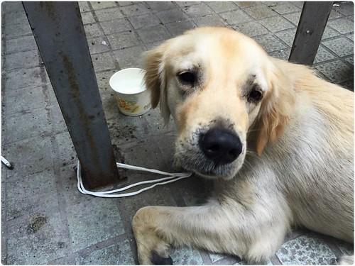 「找原主認養」桃園於北市南京東路5段聯邦銀行附近~救援似車禍的黃金獵犬~這是誰家的孩子?請幫助他找回家的路~20141030