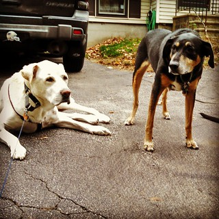 My boys say Good Morning IG. #dogstagram #labmix #coonhoundmix #seniordog #ilovemydogs #ilovemyseniordog #ilovebigmutts #love #myboys #instadog #fall