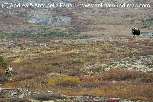 reefwondersdotnet posted a photo:	Andrea approaching a Musk-ox bull in the Nunavik tundra, Northern Quebec, Canada