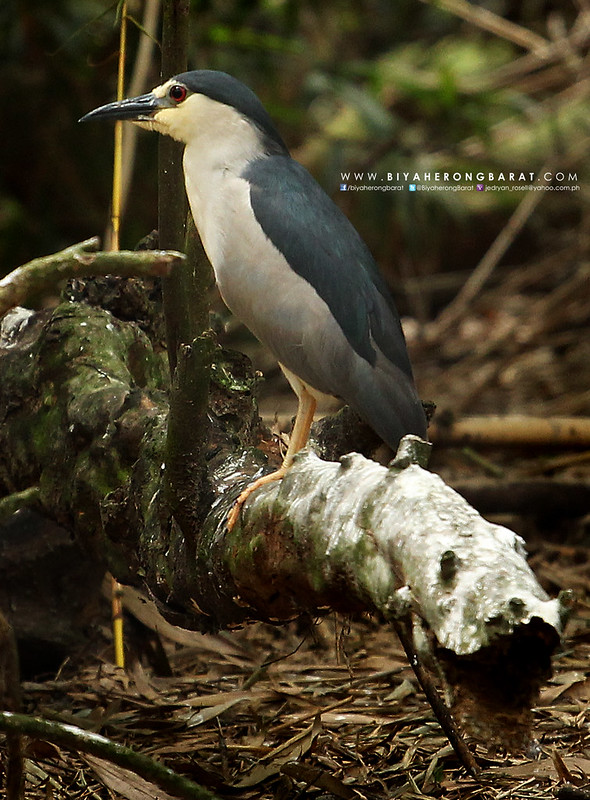 night heron baras bird sanctuary tacurong city sultan kudarat