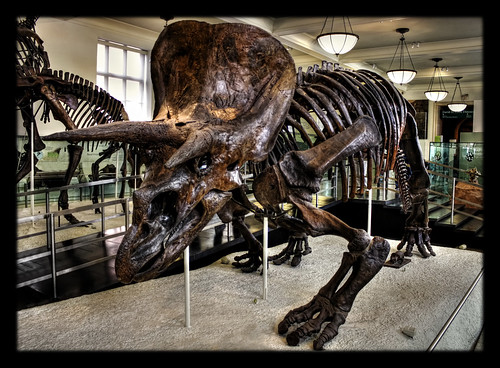 New York City USA – American Museum of Natural History – David H. Koch Dinosaur Wing – Triceratops horridus 04
