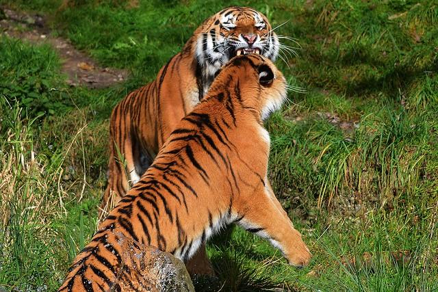 Tiger & Ahimsa