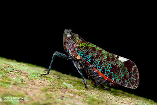 Fulgorid planthopper (Penthicodes sp.) - DSC_6138