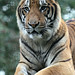Port Lympne: Bengal Tiger