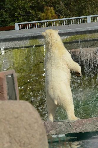 Eisbärin Sesi im Parc zoologique et botanique de Mulhouse
