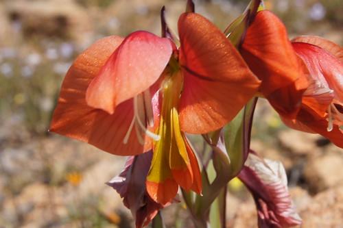 Gladiolus equitans
