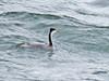 Clark's Grebe back view-Hayden Island 10-25-14