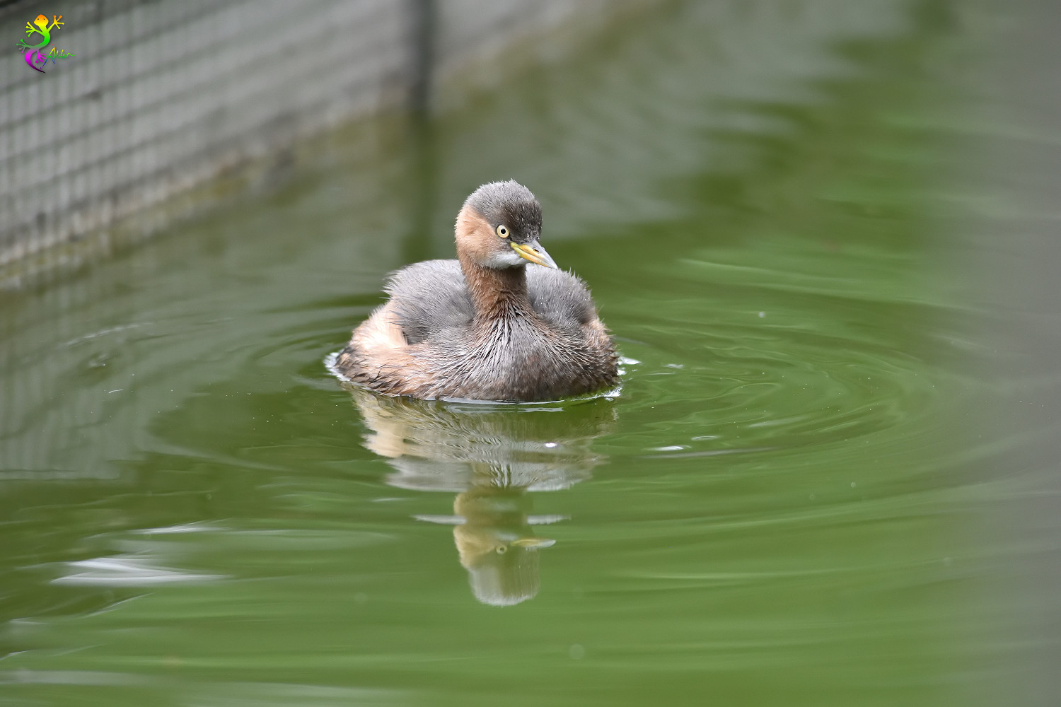 Little_Grebe_6156