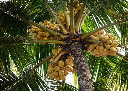 Coconut tree and fruits at the plantation in Asia