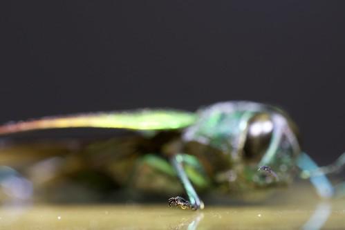 Belionota sumptuosa (Indonesia) Source Image
