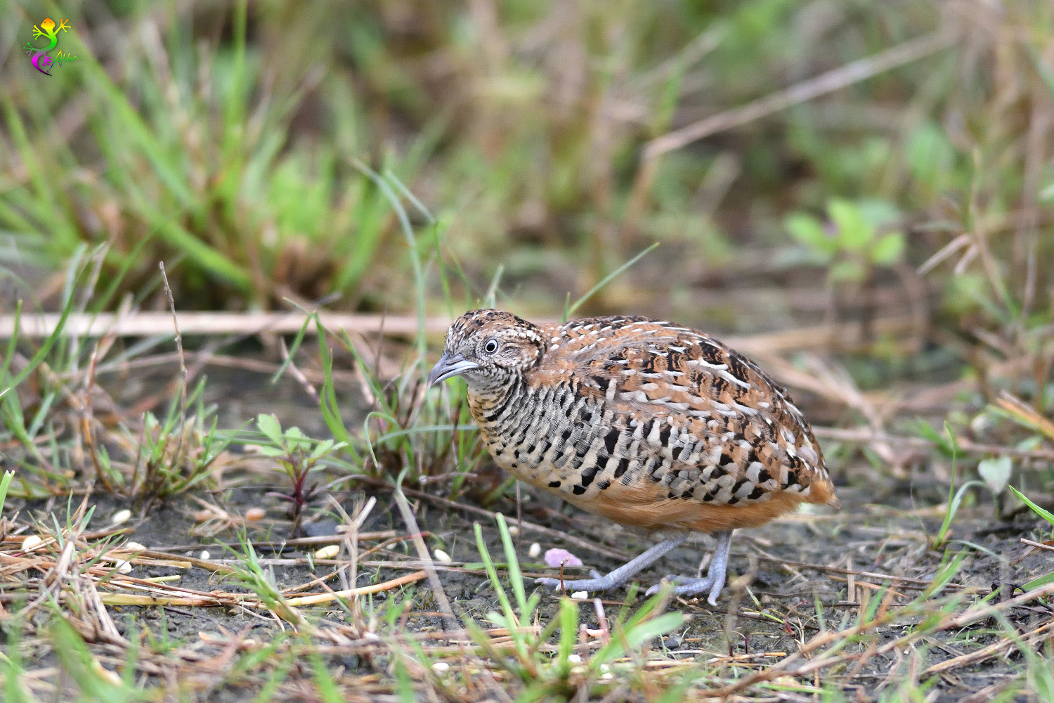 Barred_Buttonquail_9390