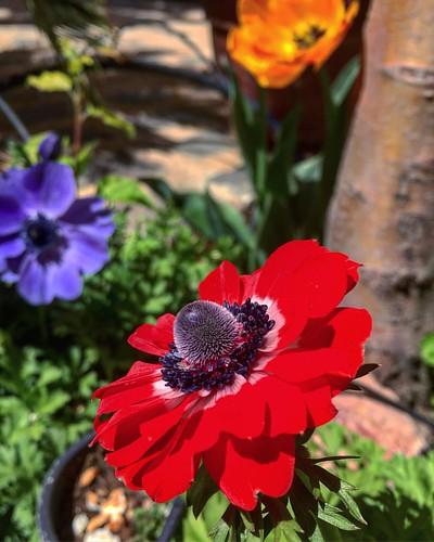 Rojo vivo en primavera. #spring #primavera #flores #flower #redflower #flowerstagram #flowerporn #photoday #photography #photographer #flowerlover #flower #igers #instalove #igaddict #igersciudadreal