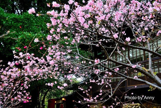 麗池櫻花72