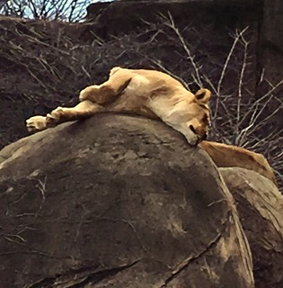 Lioness at rest