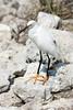 Cape Coral Trip - Little Egret of Ding Darling
