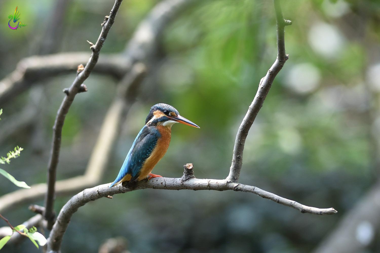 Common_Kingfisher_7015