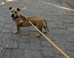 Buddy is always at the end of his leash