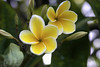 Lovers of Plumeria and Yellow_DSC03066
