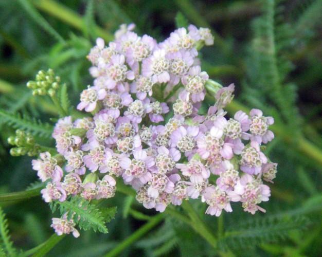 Achillea aspleniifolia 15003093943_d0a2bd8205_o