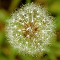 Dandelion Seeds