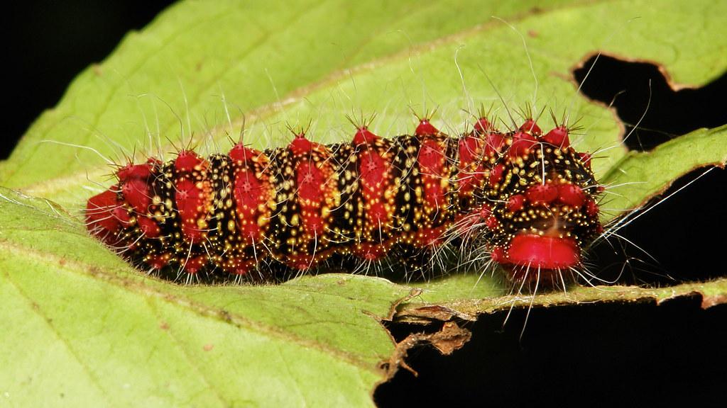 Cricula Silkmoth Caterpillar (Cricula trifenestrata, Saturniidae)