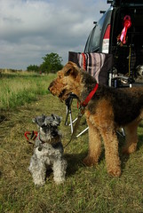 animal, dog, pet, mammal, lakeland terrier, welsh terrier, terrier, airedale terrier,