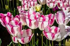 Tulip Festival, Silvan