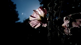 Common Hollyhock silhouette