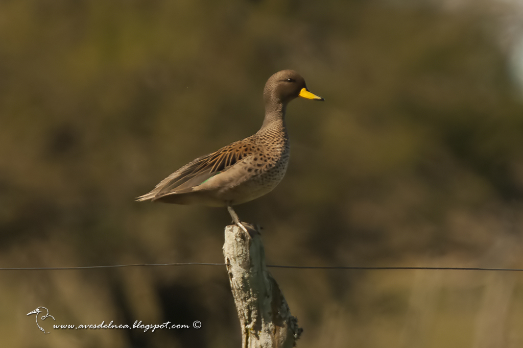 Pato barcino (Speckled Teal) Anas flavirostris