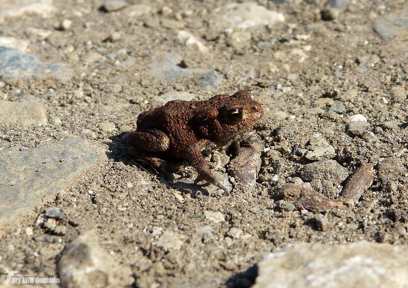 P1090113 - Toad, Isle of Mull