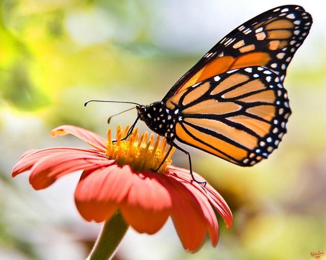 mariposa monarca diarioecologia.jpg