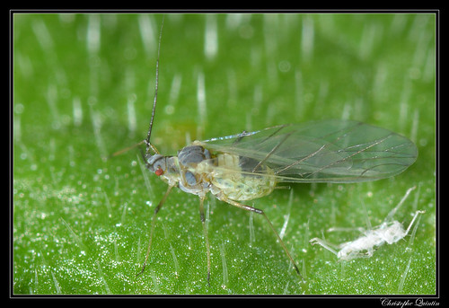Aphididae (Capitophorus elaeagni ?)