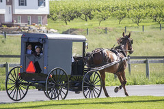coachman(0.0), farm(1.0), amish(1.0), vehicle(1.0), transport(1.0), horse harness(1.0), horse and buggy(1.0), land vehicle(1.0), carriage(1.0), rural area(1.0),