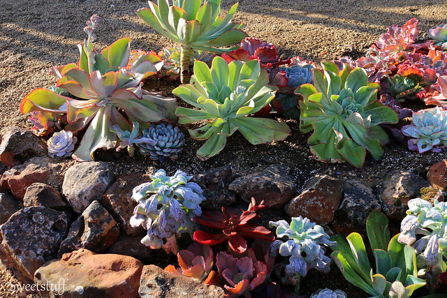 ECHEVERIA EXTRAVAGANZA BY BELL & FLOURISH WITH ROSS LANDSCAPE CONSTRUCTION 3
