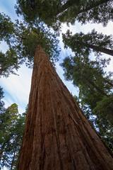 Giant Sequoia 9