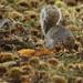 Grey Squirrel Burying Ripe Autumn Chestnuts Richmond Park London England