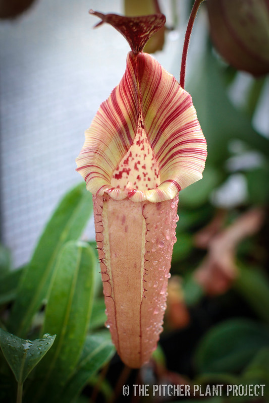 "Nepenthes tiveyi ""Red Queen"""