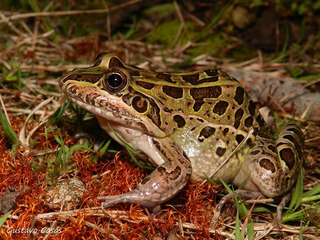 Rana Común (Leptodactylus latrans)
