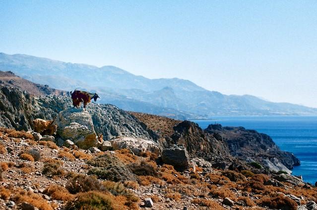 goats 0001 Kefalovrisi, Crete, Greece