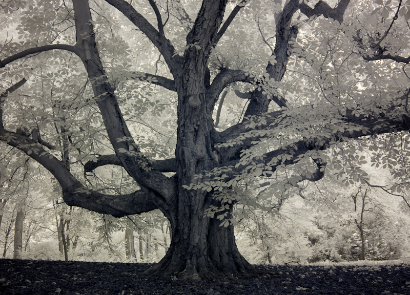 3682 Large Tree - Infrared