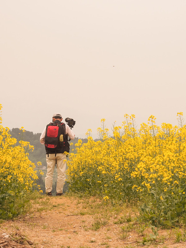 Spring in Niigata: Rapeseed blossom