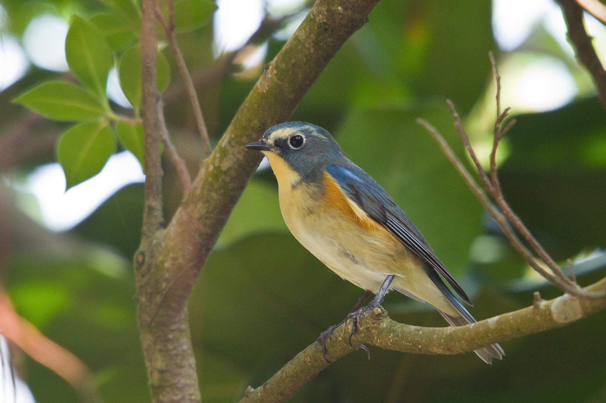 藍尾鴝綠樹版